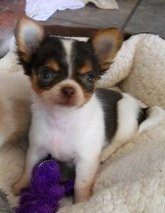 Chihuahua Puppies http://tipsfordogs.info/...