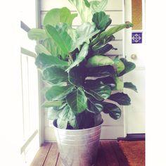 fiddle de dee   welcome home little tree x