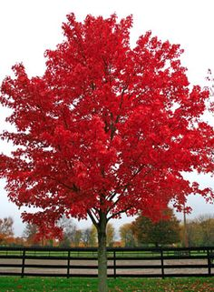GREAT FOR FALL COLOR!  October Glory Red Maple -  Grows 40'-50' high with a 25'-35' spread. Tolerant of many soils, but prefers slightly acid and moist conditions. Plant in partial shade to full sun.