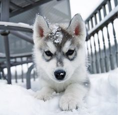 Husky pup in the snow ^.^