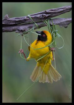 Weaver! #bird