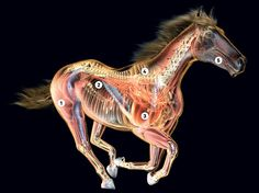 How Thoroughbreds Convert Air Into Blazing Speed | Science | WIRED