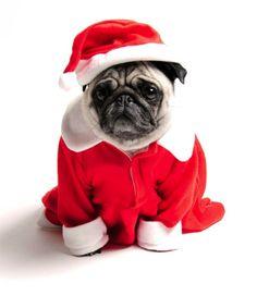 Santa pug says Merry Christmas!