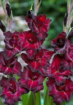 Gladiolus 'Black Surprise'