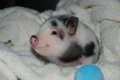 OMG  What a wonderful pig.