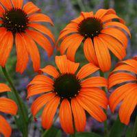 Tangerine dream coneflower- zone 3-9, 30in height, spicy fragrance