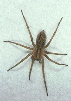 A Hobo Spider. And also poison.