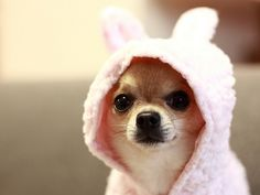 Awww, little chihuahua.