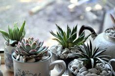 Teacup succulent garden garden ideas, weight loss, teas, plants, kitchen windows, indoor gardening, small gardens, teacups, mugs