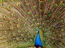 Peafowl - Wikipedia, the free encyclopedia