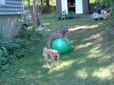 Not using the big exercise ball you got? New use for it..  hours of outside fun for active dogs.