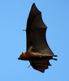 A flying fox, one of the world`s largest bat species. Tens of thousands live in the Royal botanic gardens in Sydney Australia.