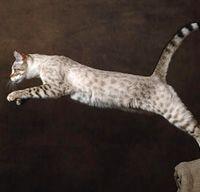 Cat Breed Profile :: Bengal