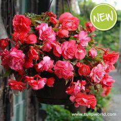 Scented hanging basket begonias!