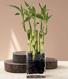 """Bouquet"" of seven lucky bamboo stalks (dracaena sanderiana) from ProFlowers.  According to Feng Shui masters, wherever bamboo is placed, good fortune is sure to follow. It's a traditional symbol of happiness, wealth and health in Asian cultures."