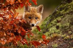 Fox Playing With Leaves