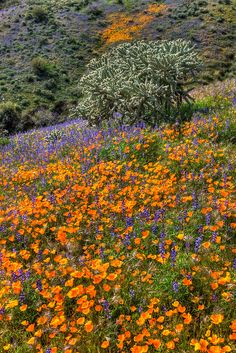 Golden Mexican Poppies carpet the hillsides of Silver King area near Superior, Arizona.  Paul Gill