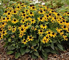 Little Goldstar Rudbeckia