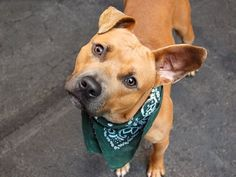 TO BE DESTROYED 08/29/14 Manhattan Center   My name is SCOOBY. My Animal ID # is A1011756. I am a male tan and white pit bull mix. The shelter thinks I am about 1 YEAR 6 MONTHS old.  I came in the shelter as a OWNER SUR on 08/24/2014 from NY 10458, owner surrender reason stated was LLORDPRIVA.   https://www.facebook.com/Urgentdeathrowdogs/photos/a.611290788883804.1073741851.152876678058553/861702363842644/?type=3&theater