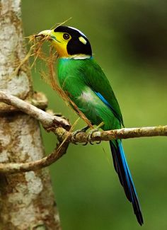 Long Tailed Broadbill, species of broadbill found in the Himalayas, southeast Asia & Indonesia