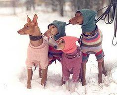 dogs, pet fashion, sweater weather, dog sweaters, joke, greyhound, winter fashion, puppi, hood