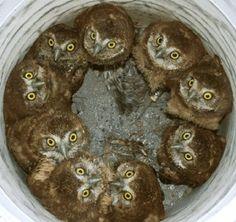 A bucket of owls