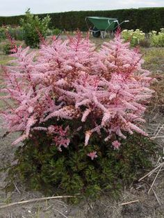 Astilbe 'Delft Lace'.  Man, when my astilbe gets this big, I'll dance a jig.  :)