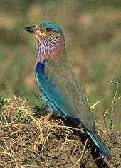 The state bird, Indian Roller.