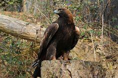 Steinadler Golden Eagle