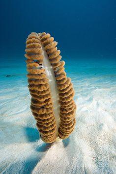 Sea Pen Coral - West Papua, Indonesia - Pacific Ocean