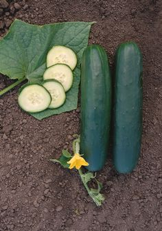 NEW VARIETY 2013 Cucumber 'Rockingham' Cucumis sativus Rockingham is a gynoecious slicer that produces a contiuous set of uniform, dark-green fruits.  Rockingham has a vigorous plant, produces a high number of super select fruits.  The fruits are straight, blocky with blunt ends and have a good L/D ratio.