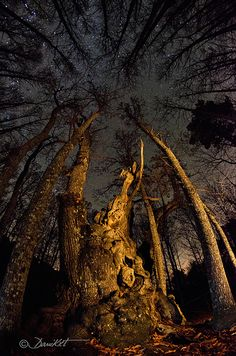 Starry Night & 1000 Year Old Chestnut Tree