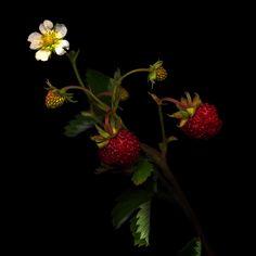 Wild Strawberries field, indigo photographi, wild strawberri, magda indigo, flower special