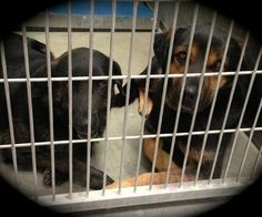 Lancaster, CA -*URGENT*PLEASE HELP**Guardian dies, two treasured dogs wind up in animal control facility. The sheltered dogs, both 5yr old German shepherd mixes have not only lost their guardian, but they have lost their home & the safety of being someone's companion. Anything & everything that they knew, all that was familiar & loved is gone. Female # A4577197 Male #A4577198  https://www.facebook.com/photo.php?fbid=10151672719147318=a.10151672713797318.1073741843.733107317=1_t=comment_mention