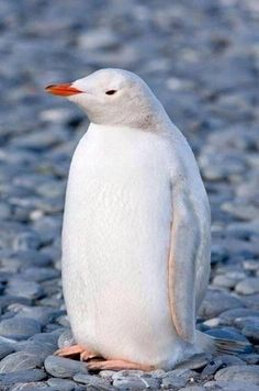 bird, white penguin, creatur, beauti, penguins, albino penguin, albino anim, thing, rare white
