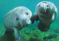 manatees holding hands, i mean, flippers?