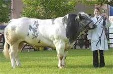 Belgian Blue Cattle - Bing Images