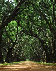 Canopy of Oaks