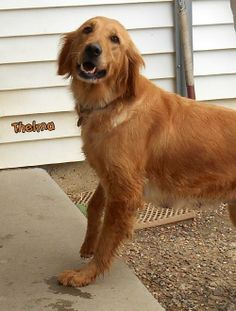 This is Thelma - 3 yrs. She was found wandering with her pup. She is current on vaccinations. Stephen Memorial Animal Shelter Oskaloosa, IA. -  http://smas.mahaska.net/ - https://www.petfinder.com/petdetail/29334909/