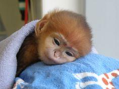 baby Francois Langur monkey...loss of habitat and hunting