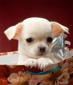 puppies, anim, dogs, chihuahuas, birthdays, christmas, gifts, puppi chihuahua, cat photos