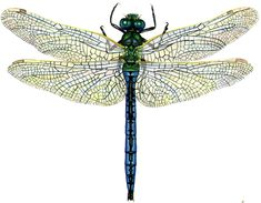 Lizzie Harper scientific illustration of the Emperor dragonfly