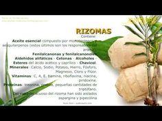 Jengibre. Nombre científico. Identificación, procedencia, contenido y principios activos. Características generales de la planta de Jengibre. Beneficios de los rizomas del jengibre.