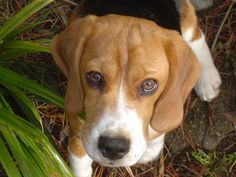 I love beagles.