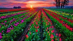 sunset, tulip, sunris, flower