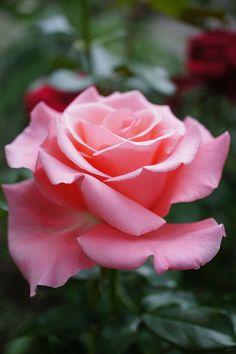 Hybrid Tea Rose - Rose First lady, @ T.Kiya