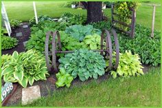 How to grow happy hosta Nancy's hosta grow nestled in with old farm implements