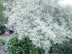 silver shrubs, avenu garden, farms, angustifolia, flowers, farm hous, church farm, elaeagnus, decidu shrub