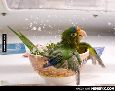 A bathing parrot