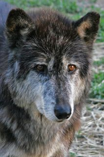 The Speedwell Forge wolf sanctuary--Lancaster County, PA